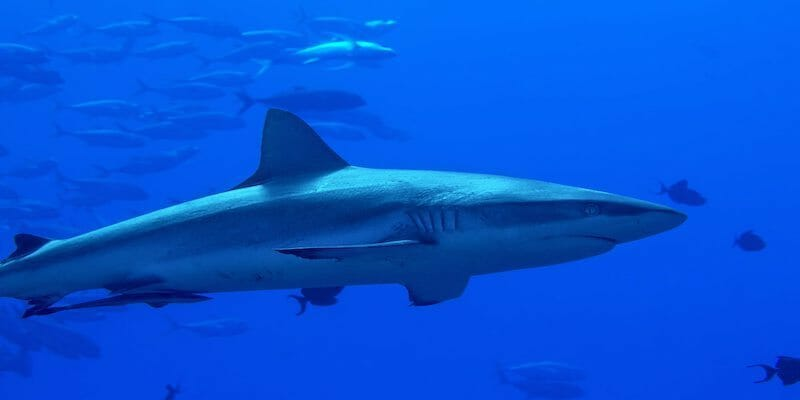grey reefshark north of palau