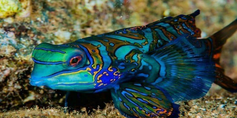 mandarinfish palau