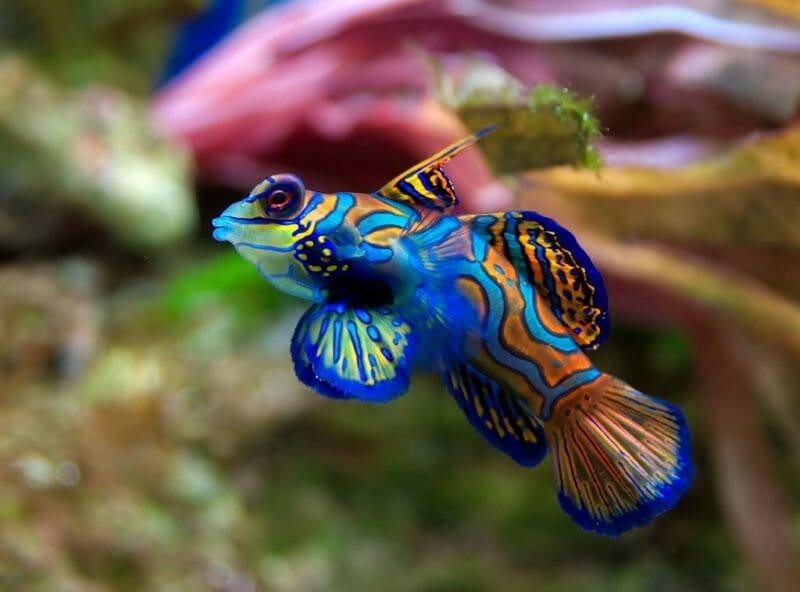 manderin-fish-lake-Palau