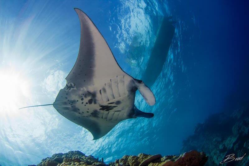 manta ray yap